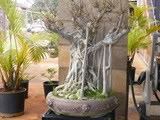 Suggestions for old, large ficus  (with pics) GoliathFicus010