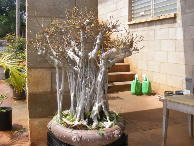 Suggestions for old, large ficus  (with pics) GoliathFicus026