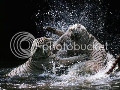 Tigrovi TigerFight