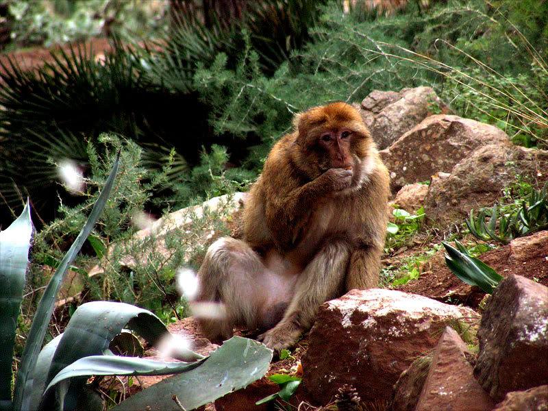 صور من إقليم الناظور في منطقة الريف شمال المغرب Gourougou-monkey14