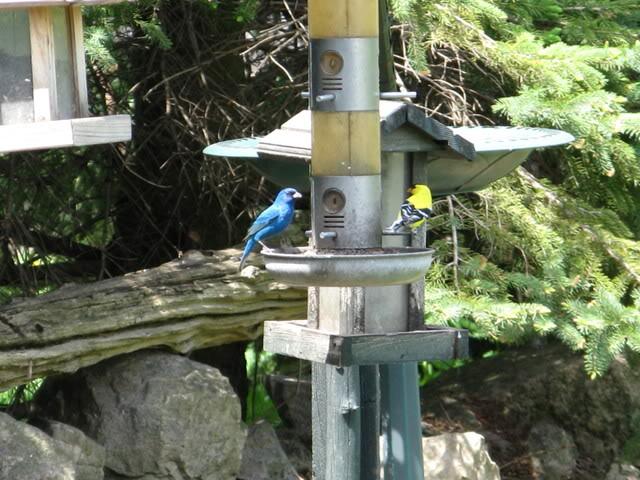Le passerin indigo Photos_oiseaux_027