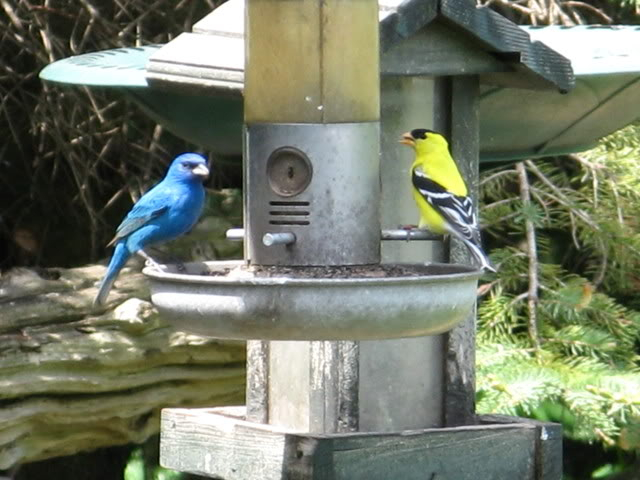 Le passerin indigo Photos_oiseaux_028