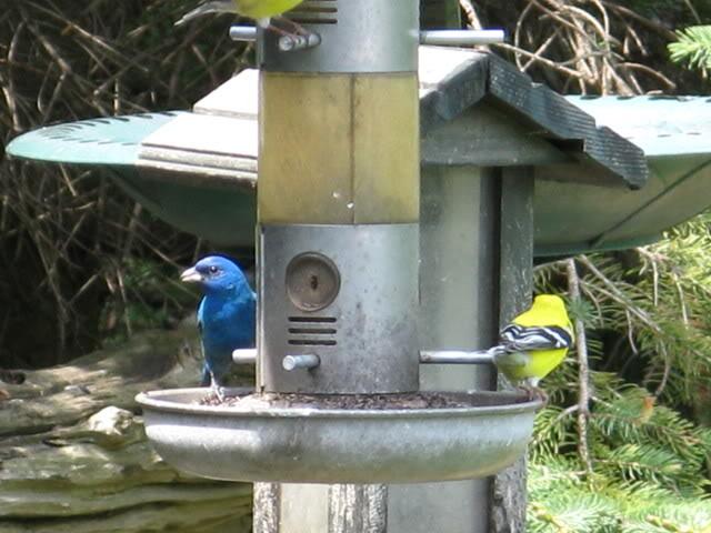 Le passerin indigo Photos_oiseaux_029