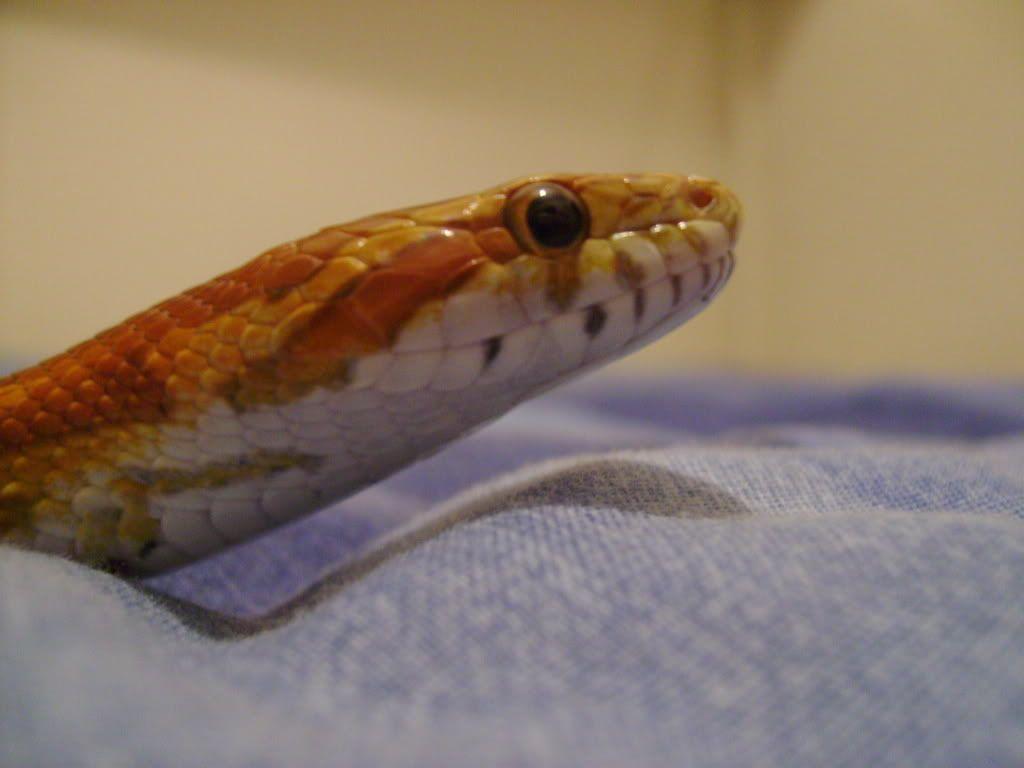 Pics of all my snakes... (pic heavy again) Bob27
