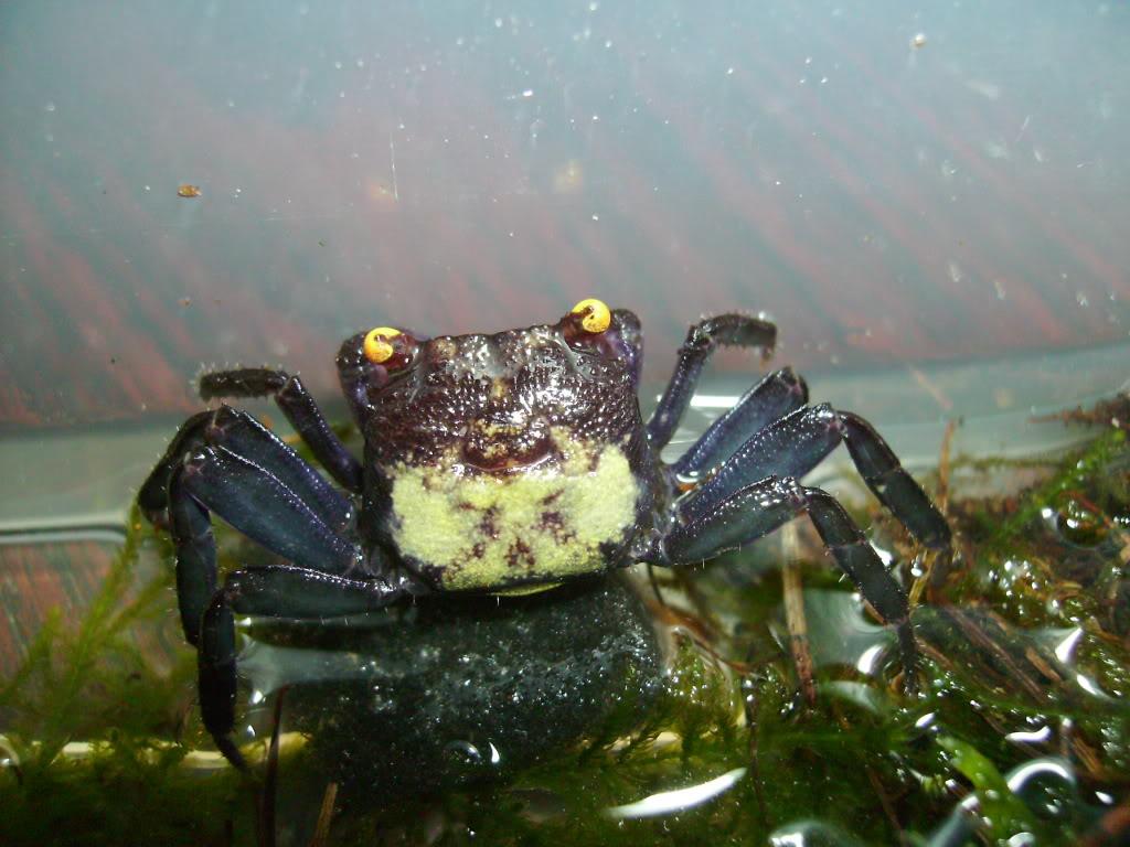 Vampire Crabs! 13