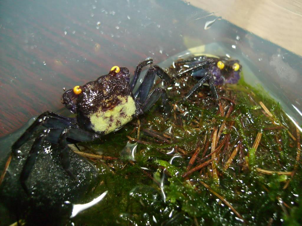 Vampire Crabs! 17