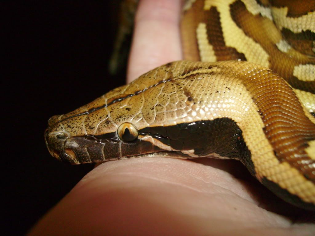 Pics of all my snakes... (pic heavy again) 3