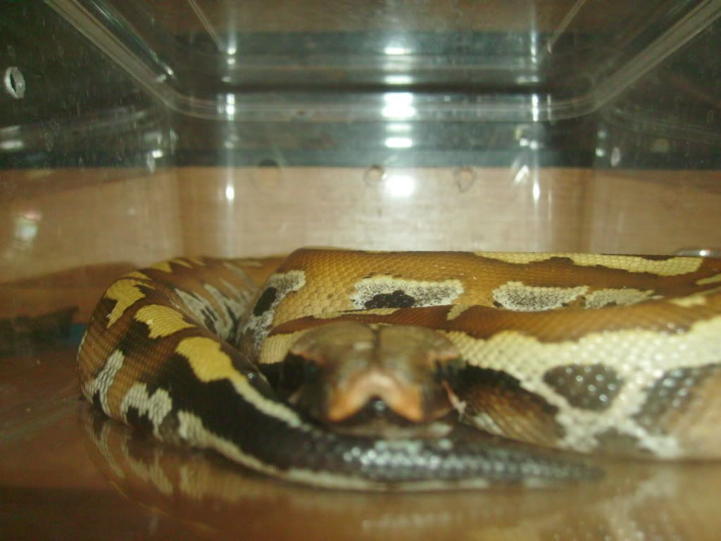 Pics of all my snakes... (pic heavy again) 64