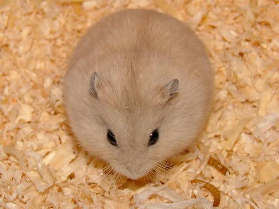 Chuột con petshop Khuyến mãi lớn nhân ngày quốc tế Phụ Nữ 8/3/2011 12949971831013412558_574_0