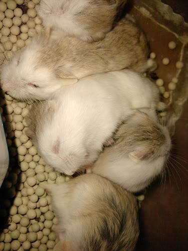 Cần Thơ - Chuột con petshop: thú cưng cần gả 5013301048_06a0e8cd86