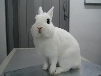 Rabbit (thỏ cảnh)