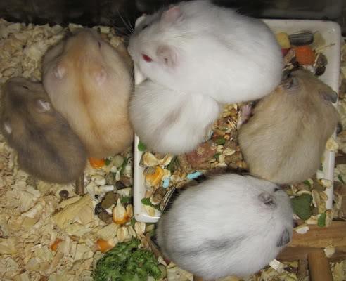 Chuột con petshop Khuyến mãi lớn nhân ngày quốc tế Phụ Nữ 8/3/2011 IMG_0380