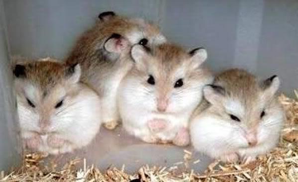Chuột con petshop Khuyến mãi lớn nhân ngày quốc tế Phụ Nữ 8/3/2011 Animalemici_hamster_ul_roborovski_2