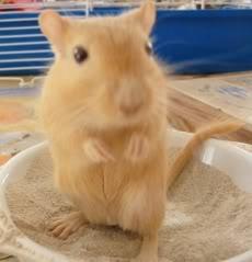 Cần Thơ - Chuột con petshop: thú cưng cần gả Gerbil