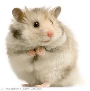 Cần Thơ - Chuột con petshop: thú cưng cần gả Grey4