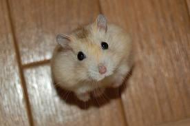 Hamster (chuột hang)