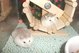 Cần Thơ - Chuột con petshop: thú cưng cần gả Imagekjbhkhs