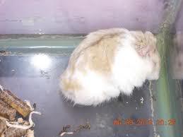 Cần Thơ - Chuột con petshop: thú cưng cần gả Imaxxxges-1