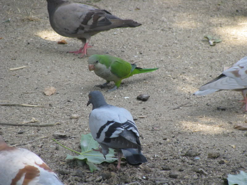 pappagalli a Barcellona IMG_2010