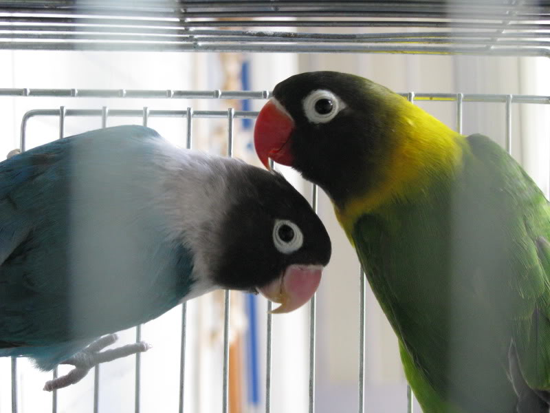 coppia di personata Immagine071
