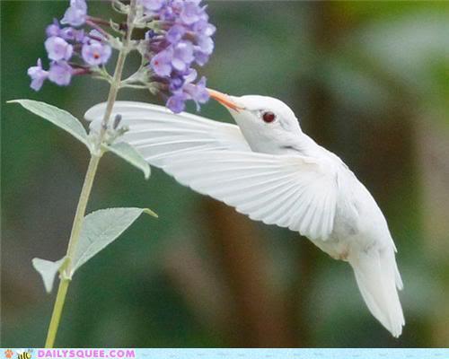 Colibris albinos rarement photographier Cid_AD6F8840B653484C973AE584082BA36FClairePC