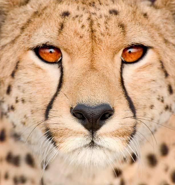 Big Cat - Kingdom in the clouds Cheetah-Face