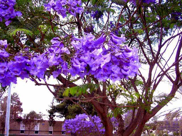 Lavender_Hoa rực rỡ những sắc màu Jacaranda_mimosifolia2552
