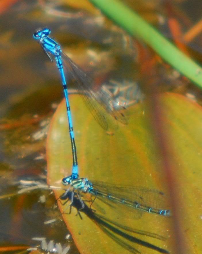 Coenagrion puella femelle bleue/verte Coenagrionpuellaaccouplement201