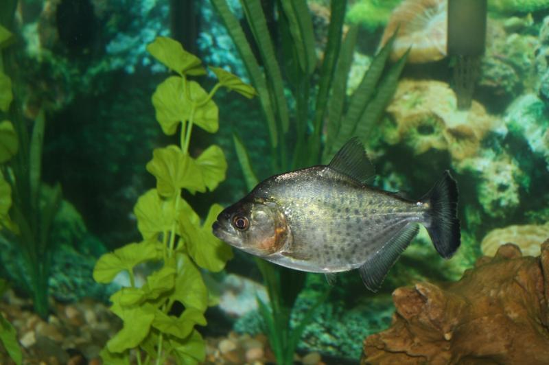 Black Piranha / Serrasalmus Rhombeus 823b0272-07d0-4b63-b9e7-2a509b1b55d6_zps57105b1e