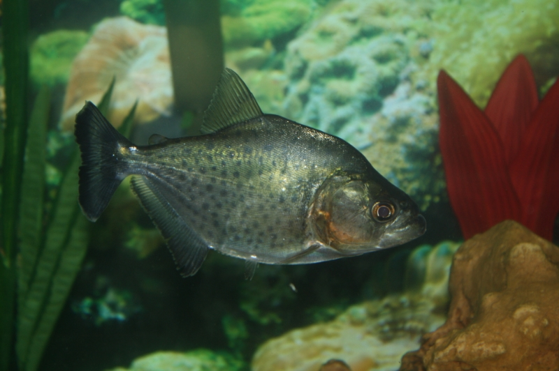 Black Piranha / Serrasalmus Rhombeus 843153b3-38cc-4bd4-9fd4-3c2c83694222_zps1a0c2be5
