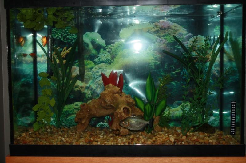 Black Piranha / Serrasalmus Rhombeus 8f4a74a8-dd90-4f72-bd1e-d17ef9164119_zps3ee9f520