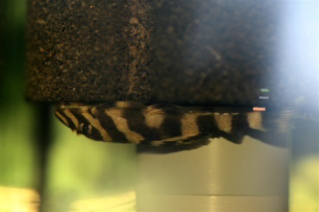 Juvi L168 butterfly or chameleon pleco 5fee0a5a