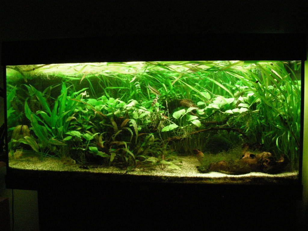 Akvarijske ribice DSCN1669