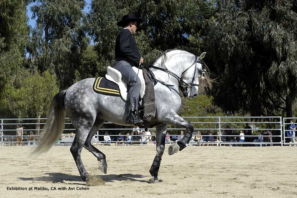 Unique Gift Andalusian-horse-alborozo006
