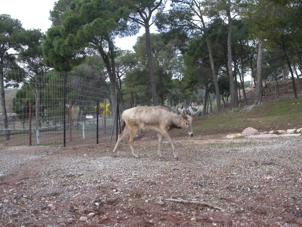 Un cerf chinois assez rare  DSCN3133