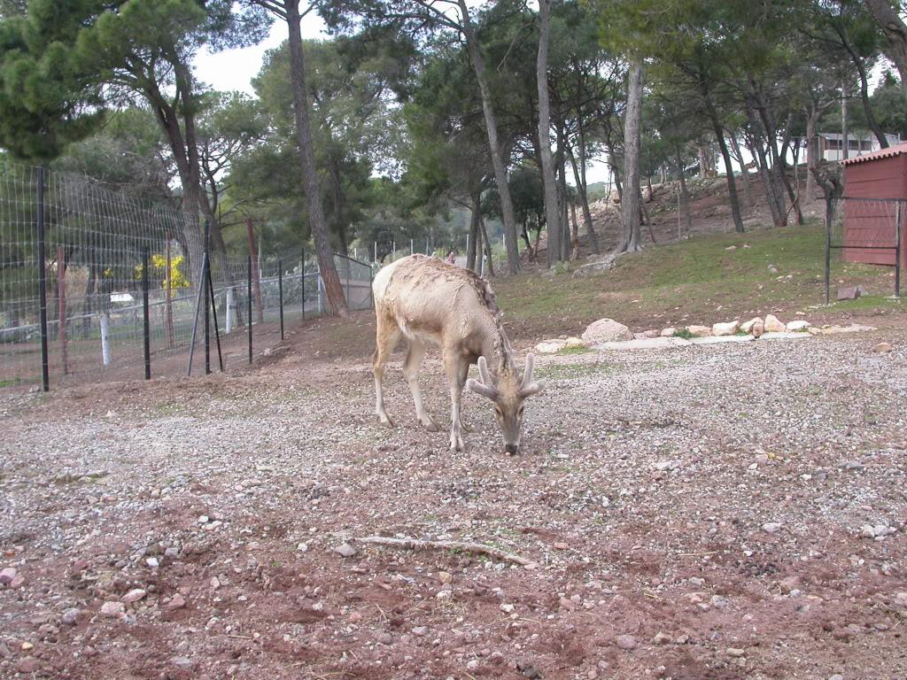 Un cerf chinois assez rare  DSCN3134