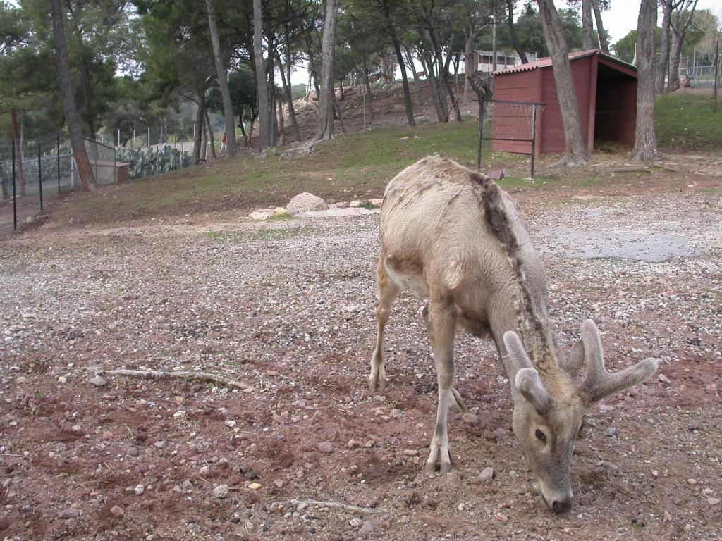 Un cerf chinois assez rare  DSCN3135