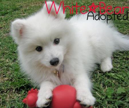 Wolves-Rule1's Characters 1292519293_147340081_2-FEMALE-JAPANESE-SPITZ-PUPPY-TO-HAVE-AROUND-AS-END-OF-YEAR-COMPANION-Dubai