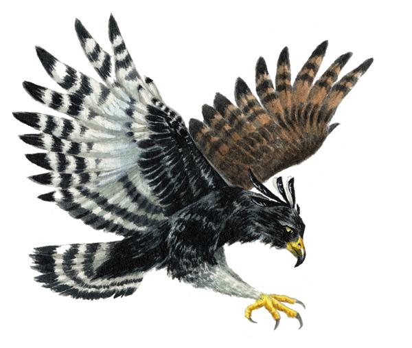 Rya's Dæmon Black-and-white-hawk-eagle
