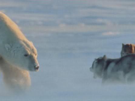 Reacción de un Oso Polar, ante unos perros de trineos. Dibujo-55