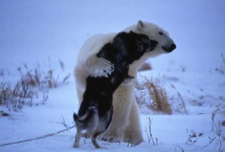 Reacción de un Oso Polar, ante unos perros de trineos. Dibujo3-6