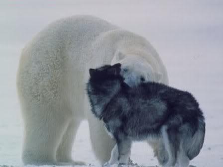 Reacción de un Oso Polar, ante unos perros de trineos. Dibujo4-3