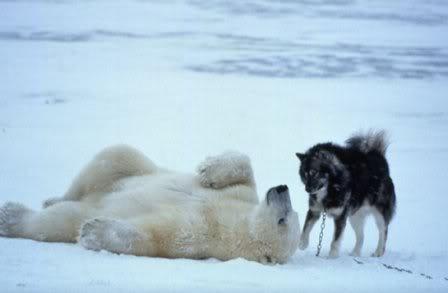 Reacción de un Oso Polar, ante unos perros de trineos. Dibujo6-2