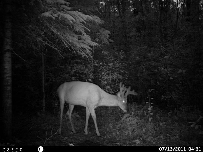 Bucks de l'Alberta sur mon territoire HUNT0013