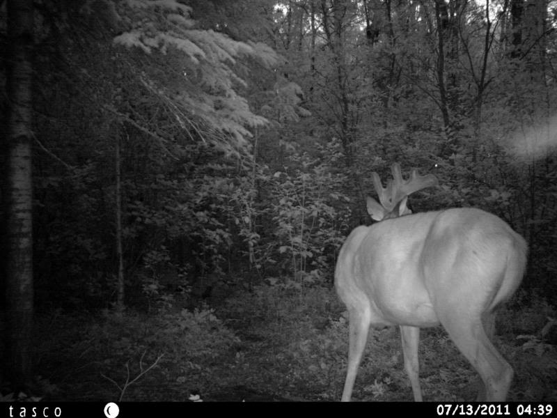 Bucks de l'Alberta sur mon territoire HUNT0015