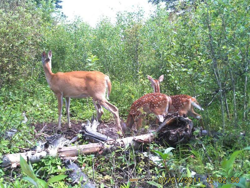Bucks de l'Alberta sur mon territoire PICT0255