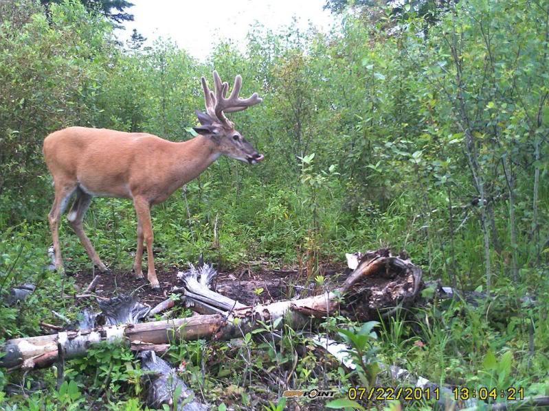 Bucks de l'Alberta sur mon territoire PICT0282
