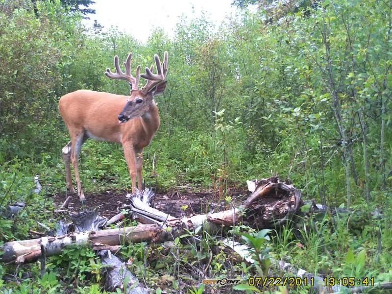 Bucks de l'Alberta sur mon territoire PICT0284