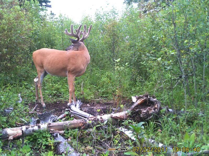 Bucks de l'Alberta sur mon territoire PICT0285