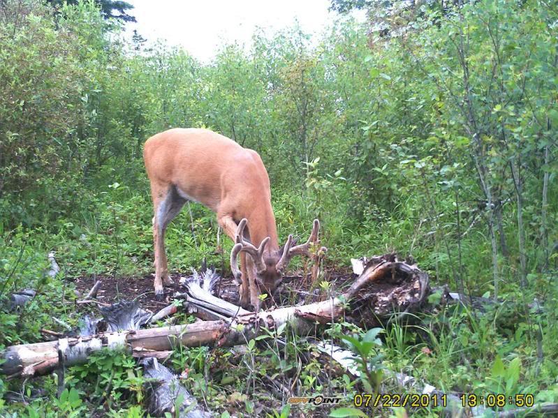 Bucks de l'Alberta sur mon territoire PICT0288